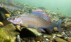 grayling swimming in the water