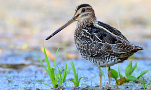 maine-upland-bird-hunting-1562464481_species_snipe