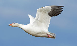 snow goose flying through the air