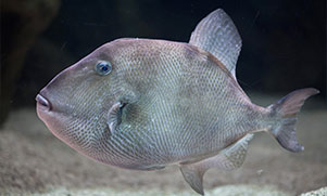 trigger fish species swimming in water