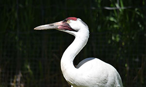 whooping-crane-1566092652_species_whopping_crane