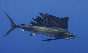 padre-island-offshore-fishing-1566350177_species_sailfish