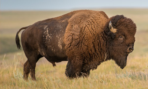 A large brown buffalo standing in a field of yellow grass
