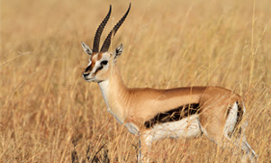 thomsons gazelle standing in a field of grass