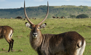 waterbuck standing in a green field looking straight at the camera