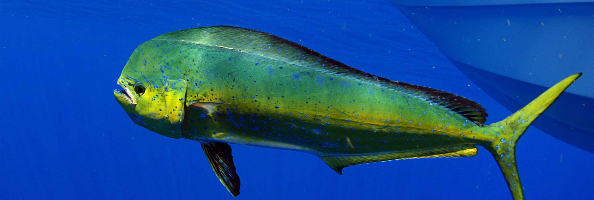 A Mahi Mahi swimming the the ocean with blue clear water background