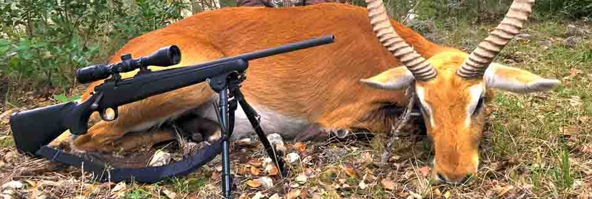 A large male Red Lechwe just harvested and on display with rifle sitting in front