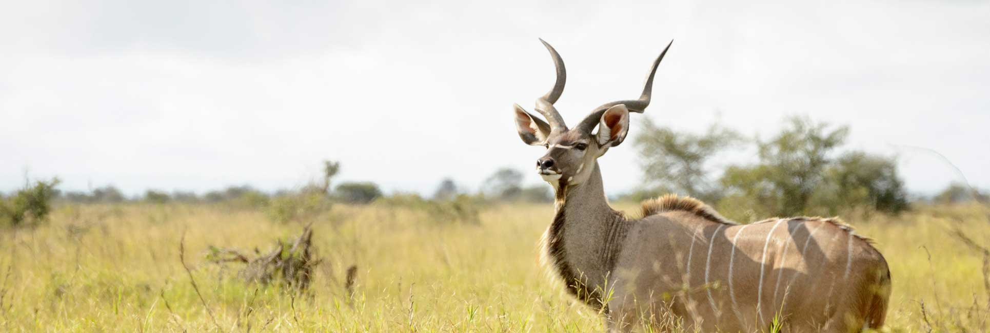 A male Kudu standing proudly in a field of yellow grass