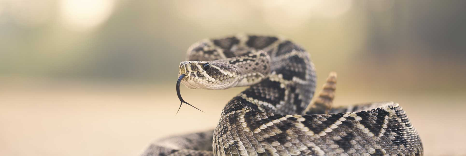 A Rattlesnake curled up with his rattle in the air ready to strike