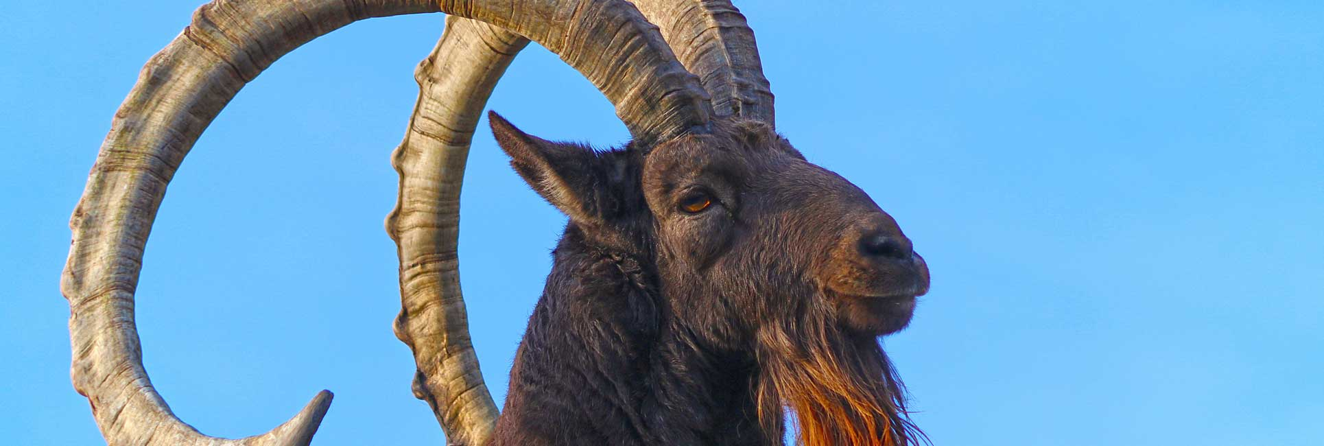 A close up portrait of a male Ibex with large curled horns and a red beard