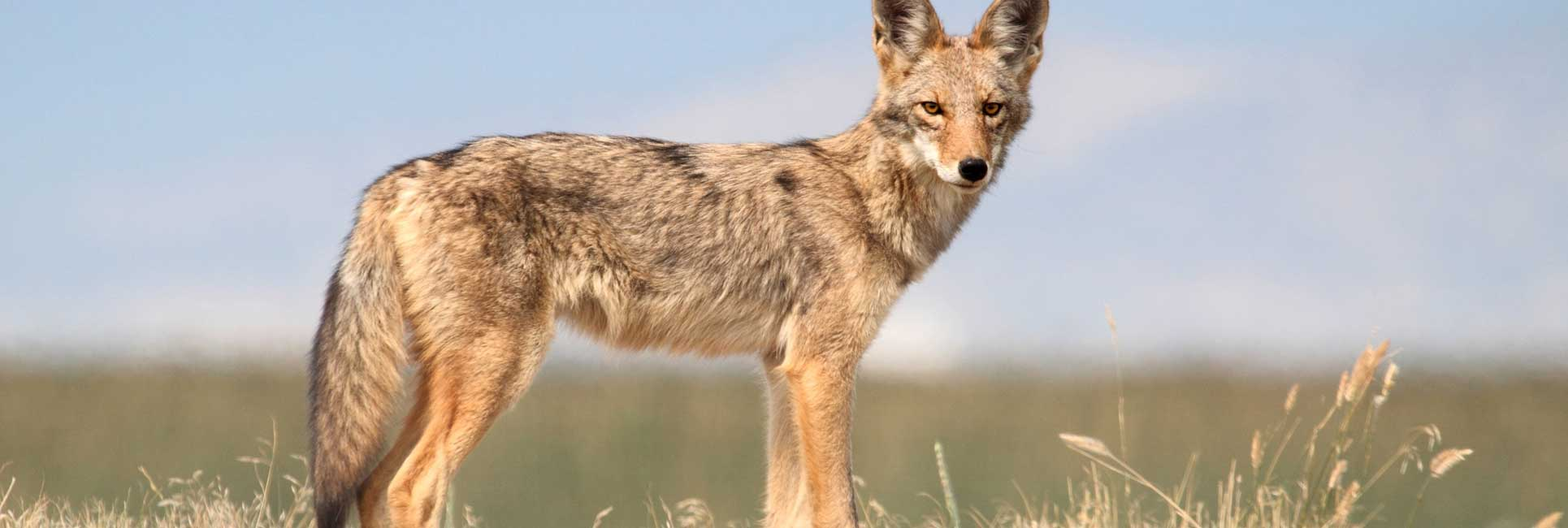 coyote standing in field spotted while coyote hunting
