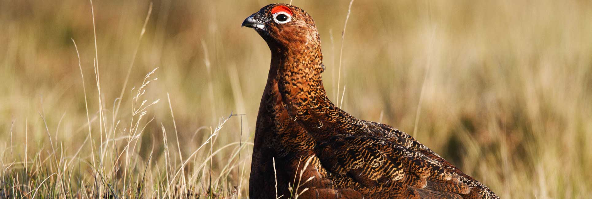 grouse standing in field