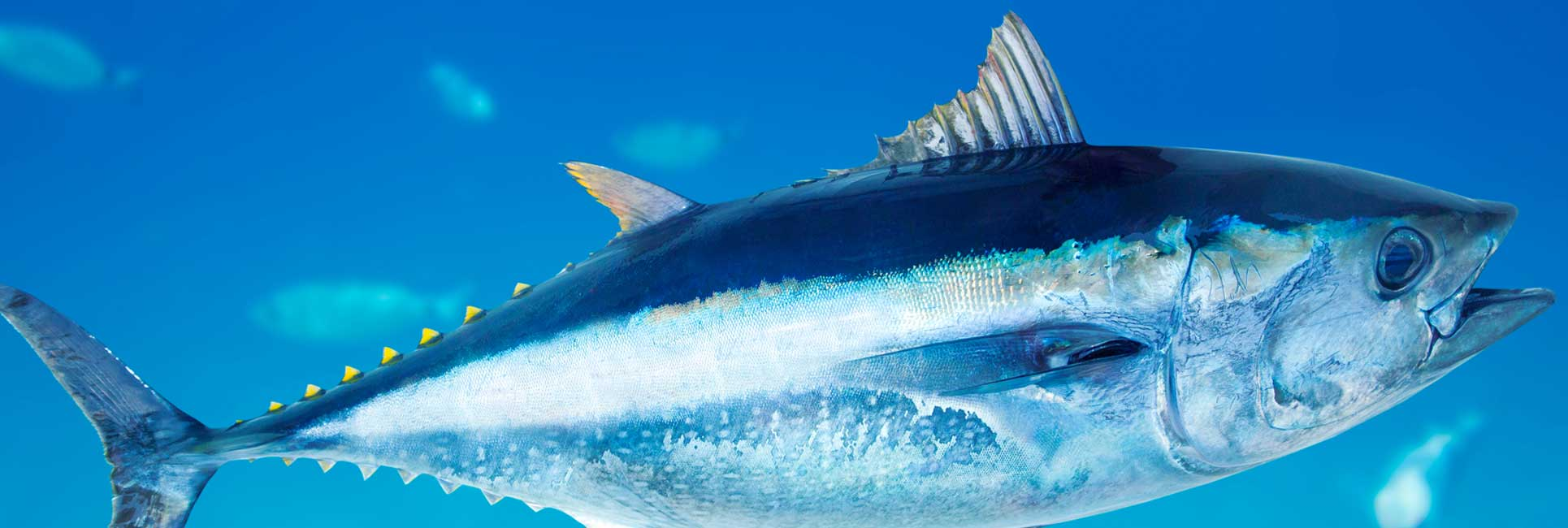 blue fin tuna fish swimming in water